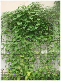 節電の夏、グリーンカーテン